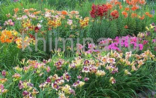 С какими цветами сочетаются лилейники 34
